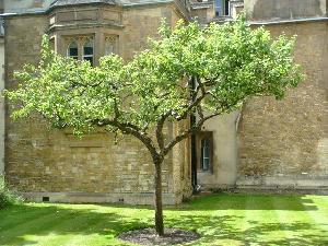 ニュートンのリンゴの木の末裔(?)